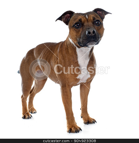 stafforshire bull terrier stock photo, stafforshire bull terrier in front of white background by Bonzami Emmanuelle