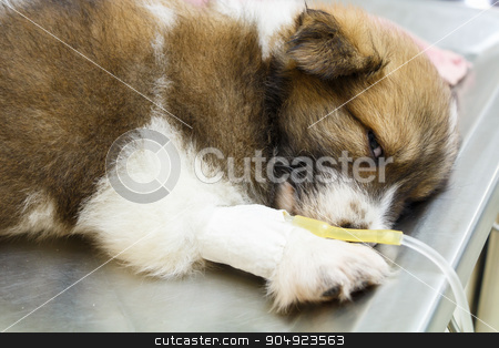 illness puppy with intravenous drip stock photo, illness puppy with intravenous drip on operating table in veterinarian's clinic by stockdevil