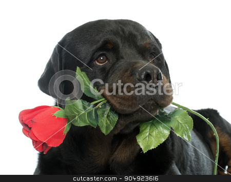 rottweiler and flower stock photo, rottweiler and flower in front of white backrgound by Bonzami Emmanuelle