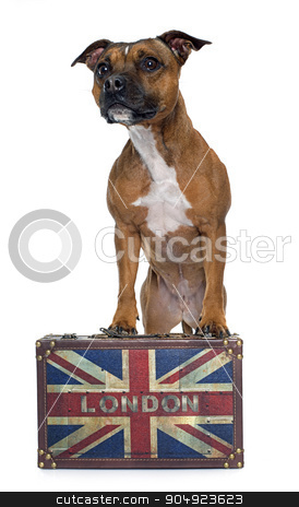 stafforshire bull terrier and box stock photo, stafforshire bull terrier in front of white background by Bonzami Emmanuelle
