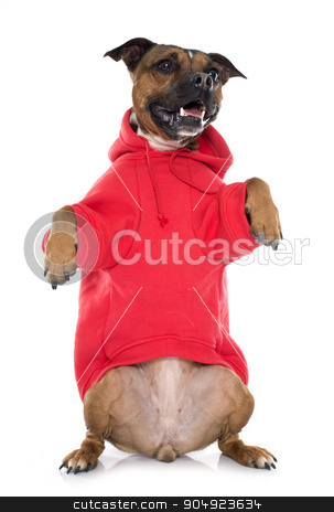 dressed stafforshire bull terrier stock photo, dressed stafforshire bull terrier in front of white background by Bonzami Emmanuelle
