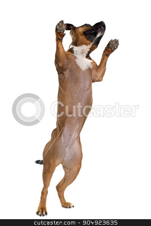 playing stafforshire bull terrier stock photo, stafforshire bull terrier in front of white background by Bonzami Emmanuelle