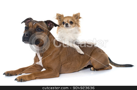 stafforshire bull terrier and chihuahua stock photo, stafforshire bull terrier and chihuahua in front of white background by Bonzami Emmanuelle