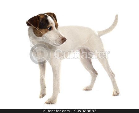 jack russel terrier stock photo, jack russel terrier in front of white background by Bonzami Emmanuelle