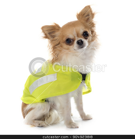chihuahua and security coat stock photo, chihuahua and security coat in front of white background by Bonzami Emmanuelle