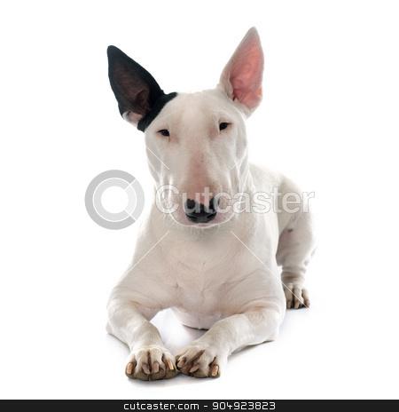 female bull terrier stock photo, female bull terrier in front of white background by Bonzami Emmanuelle
