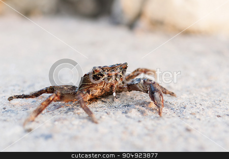 Crab stock photo, Crab fished out of the sea and sitting on the road by Remus Rigo
