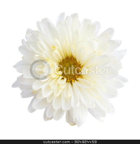 White color Chrysanthemum stock photo, White color Chrysanthemum on white background (isolated) by stockdevil