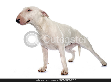 female bull terrier stock photo, female bull terrier in front of white background by Bonzami Emmanuelle