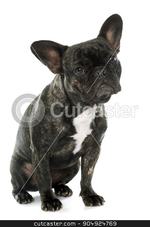 brown french bulldog stock photo, brown french bulldog in front of white background by Bonzami Emmanuelle