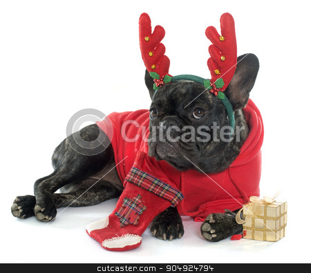 dressed french bulldog stock photo, dressed french bulldog in front of white background by Bonzami Emmanuelle
