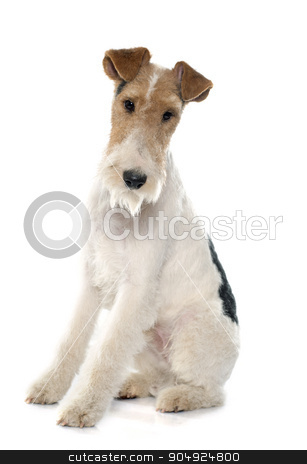 purebred fox terrier stock photo, purebred fox terrier in front of white background by Bonzami Emmanuelle