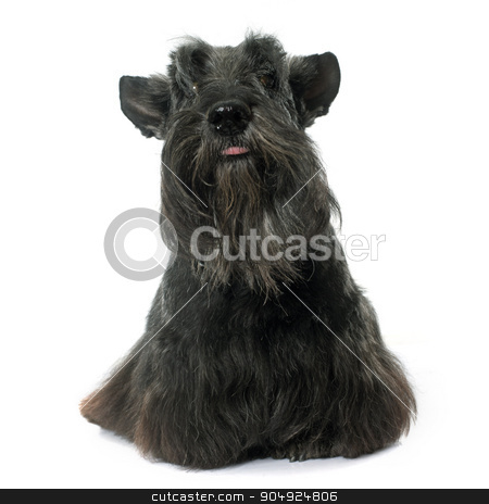old scottish terrier stock photo, old scottish terrier in front of white background by Bonzami Emmanuelle