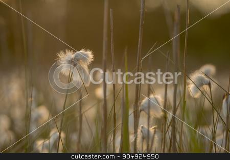 Cottongrass Eriophorum angustifolium stock photo, Common cottongrass Eriophorum angustifolium  by Tofotografie