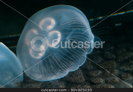 Jelly Started at the Bottom stock photo, Jellyfish swimming just above the rocks on the ground by Daniel Stewart