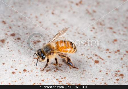 One Winged Bee stock photo, Close Up view of an injured wingless bee by Daniel Stewart