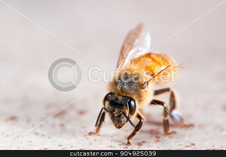 A Vicious Battle Left Him as capable as an Ant stock photo, Close Up view of an injured wingless bee by Daniel Stewart
