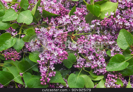 Branches  of  lilac  over the water stock photo, Branches  of  lilac  over the water, can be used as background by alekleks