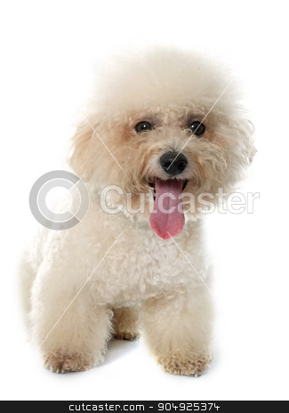 purebred bichon frise  stock photo, bichon frise maltese dog in front of white background by Bonzami Emmanuelle