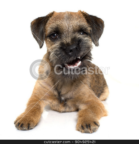 growling border terrier stock photo, purebred border terrier in front of white background by Bonzami Emmanuelle