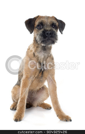 purebred border terrier stock photo, purebred border terrier in front of white background by Bonzami Emmanuelle