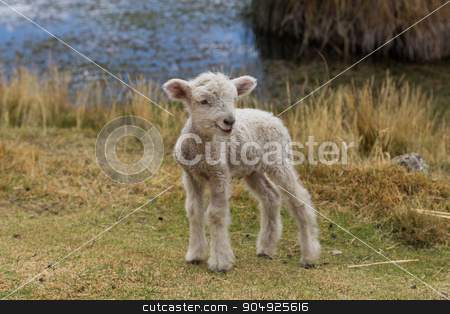 Baby lamb standing stock photo, Photograph of a new born lamb standing. by Oliver Foerstner