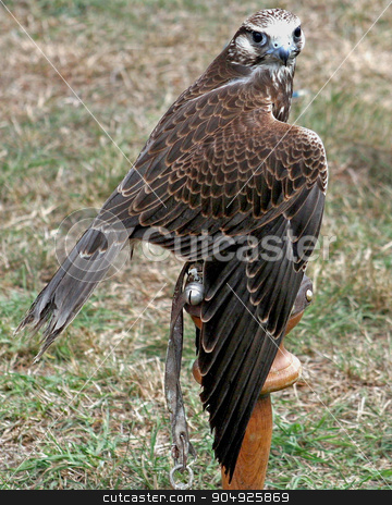 Kestral stock photo, A kestral perched on a wood perch by Lucy Clark