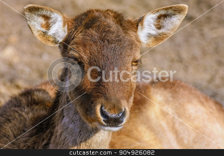 Portrait of Deer stock photo, Portrait of Deer without Horns by Sergej Razvodovskij