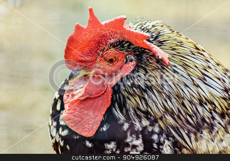 Portrait of Rooster stock photo, Portrait of Rooster by Sergej Razvodovskij