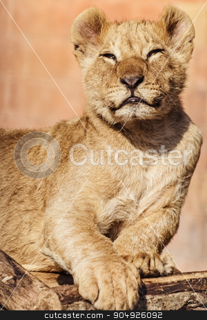 Portrait of Young Lion stock photo, Portrait of Young Lion by Sergej Razvodovskij