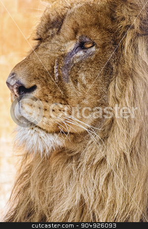 Portrait of Lion stock photo, Portrait of an Old Lion by Sergej Razvodovskij