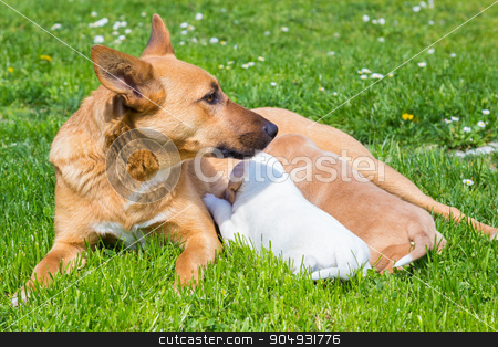 Mixed-breed cute little dog family. stock photo, Mixed-breed bitch breast feeding her cute little puppies outdoors on a meadow on a sunny spring day. by kasto