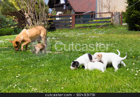 Mixed-breed cute little dog family. stock photo, Mixed-breed cute little puppies playing with her dog mom outdoors on a meadow on a sunny spring day. by kasto