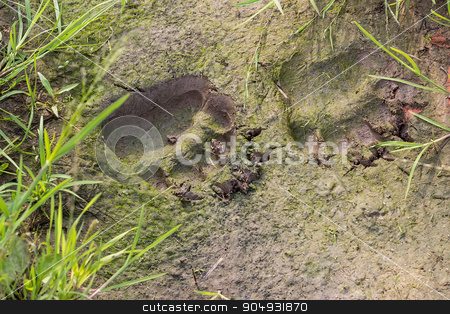 Fresh traces of brown bear stock photo, Fresh traces of brown bear. In one of the tracks sits a little frog. Russia by Liubov Nazarova