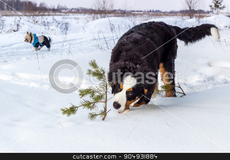 Young Mountain dog stock photo, Mountain dog standing in the snow and smelling a little pine tree by Liubov Nazarova