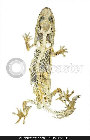 dead body of lizard on white background stock photo, dead body of lizard on white background by stockdevil