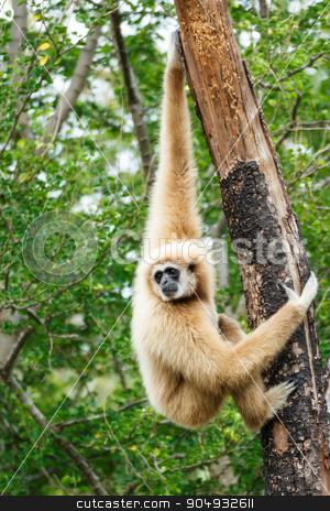 Gibbon (Hylobates lar) climb tree in forest ,Chiangrai ,Thailand stock photo, Gibbon (Hylobates lar) climb tree in forest ,Chiangrai ,Thailand by stockdevil
