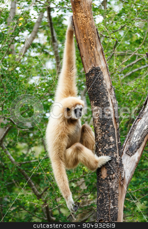 Gibbon (Hylobates lar) climb tree in forest ,Chiangrai ,Thailand stock photo, Gibbon (Hylobates lar) climb tree in forest ,Chiangrai ,Thailand by stockdevil