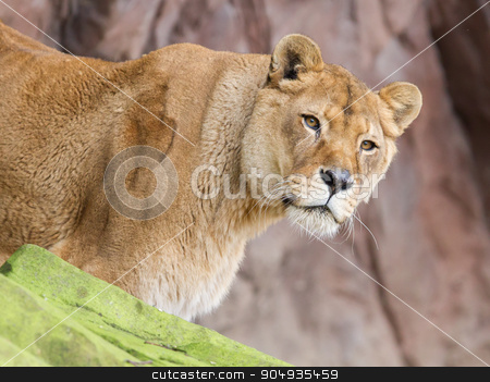 Lion on alert stock photo, Lion on alert (Panthera Leo), selective focus by michaklootwijk
