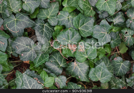Green ivy leaves stock photo, Green ivy leaves, can be used as background by alekleks