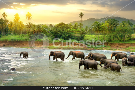 Elefants in river stock photo, Herd of elefants walking in a jungle river by Givaga