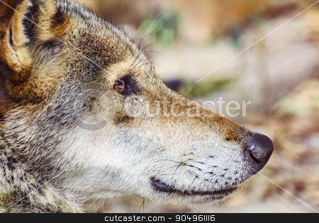 Portrait of The Wolf stock photo, Close up Portrait of the Grey Wolf by Sergej Razvodovskij