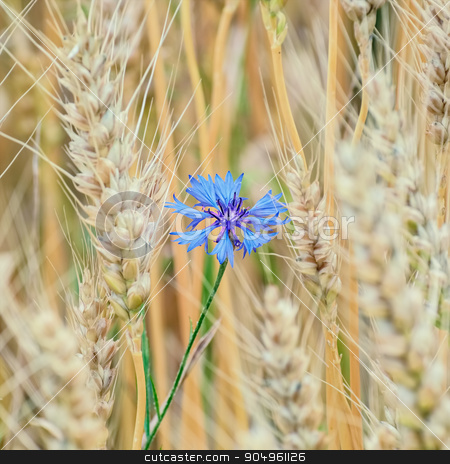 Blue Cornflower stock photo, Blue Cornflower among the Wheat by Sergej Razvodovskij