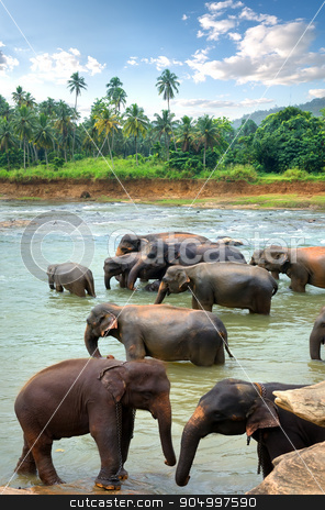 Herd of elefants stock photo, Herd of elefants in river of jungle by Givaga