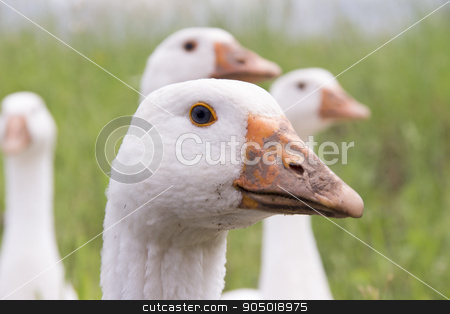 The head of a goose  stock photo, The head of a goose close up by sergeevana