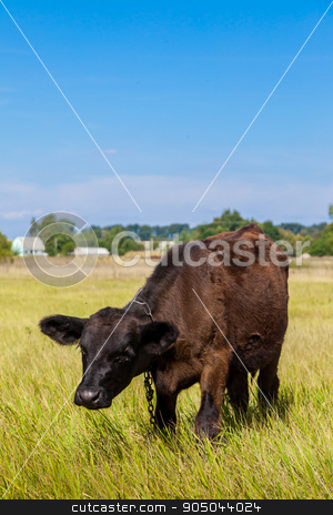 calf stock photo, calf on a green dandelion field, Blue sky by bloodua