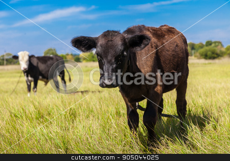 Cow and calf stock photo, Cow and calf on a green dandelion field, Blue sky by bloodua