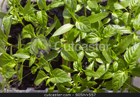 Seedlings on the vegetable tray. stock photo, Photo planting seedlings in the home tray by shmelevideo