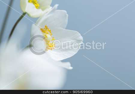 White spring flowers stock photo, Spring white flowers on blue background. Selective shallow focus by Dmytro Buianskyi