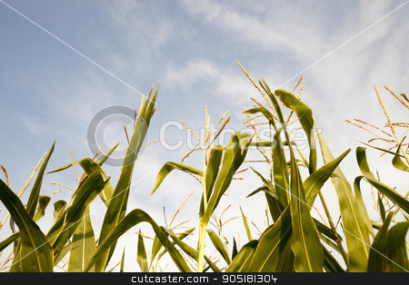 Green immature corn   stock photo,  Agricultural field on which grow green immature corn, agriculture, blue sky by ihar leichonak